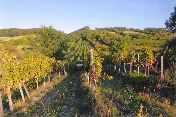 Hoteleigener Weingarten im Burgenland
